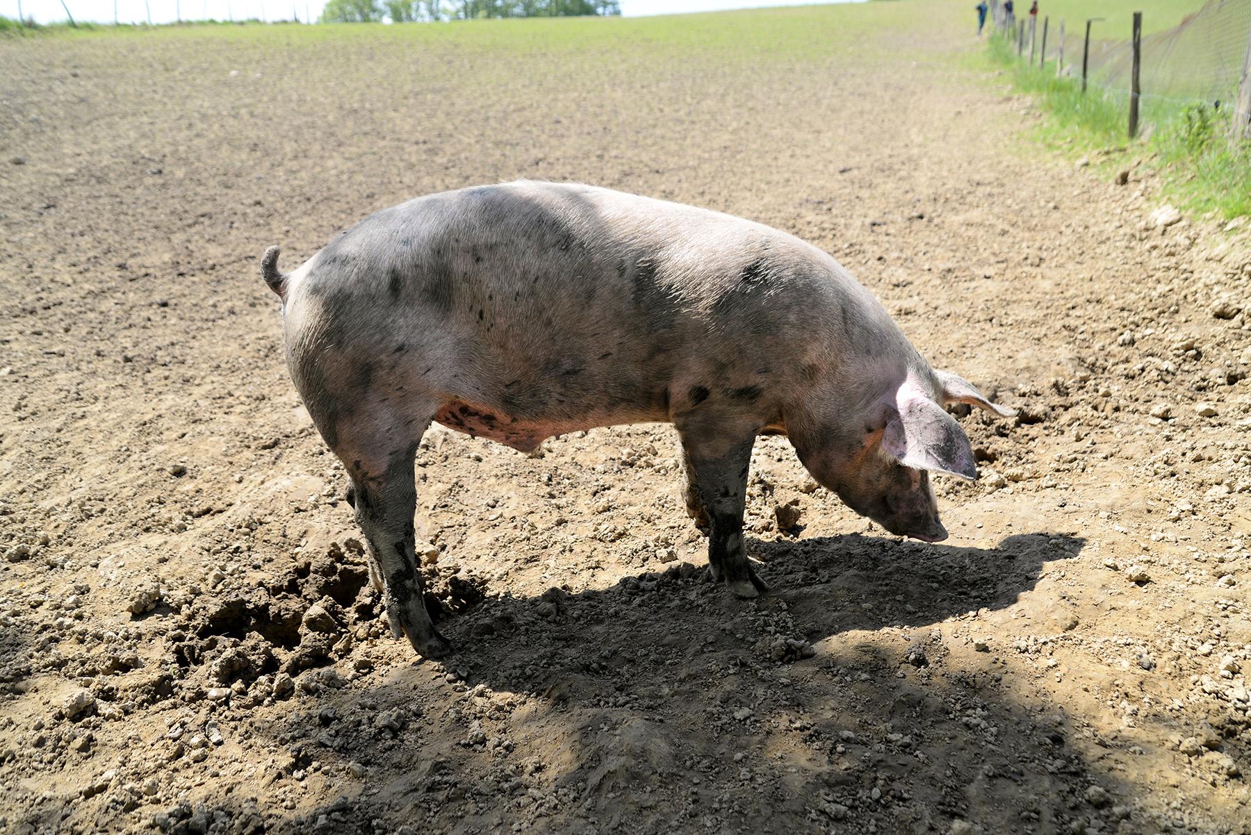 EARL_IRATZIA elevage responsable - porc air libre